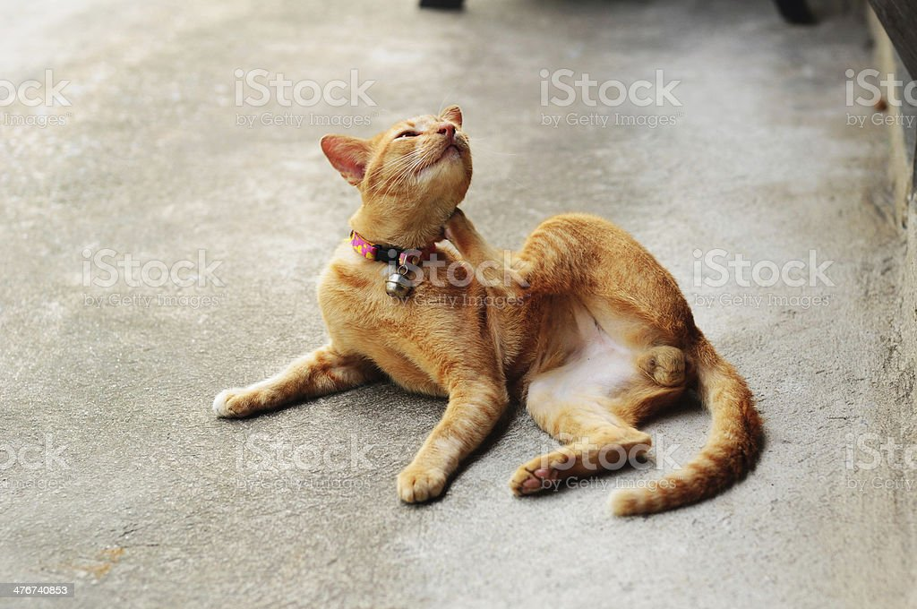brown itchy cat royalty-free stock photo