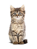 brown kitten on a white background