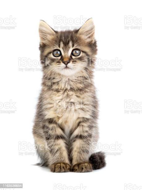Brown kitten on a white picture id1163536654?b=1&k=6&m=1163536654&s=612x612&h=q6o4r jucmwx6nj k3tt po v40lupmsu1azlyuwlrq=