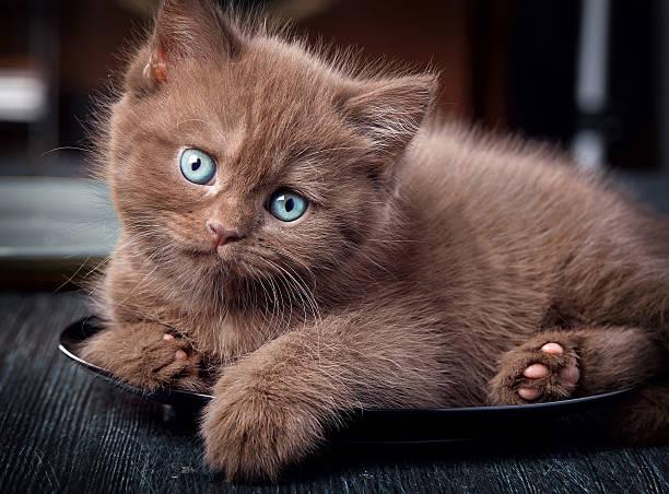 Brown kitten on black plate picture id636265080?b=1&k=6&m=636265080&s=612x612&w=0&h=uwpq lln7w2lalsx3h53gsusvyqskttg7ugkkl64rny=