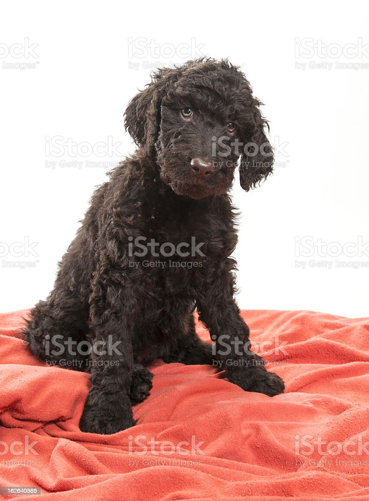 Brown Labradoodle Looking royalty-free stock photo