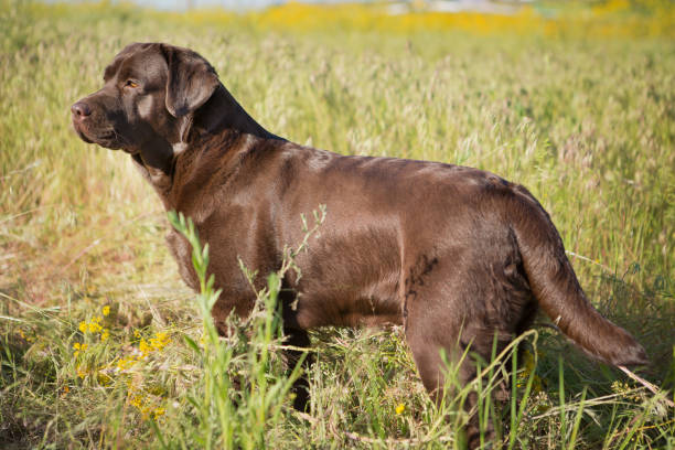 Brown labrador dog in the nature picture id695255522?b=1&k=6&m=695255522&s=612x612&w=0&h=0udtr i2c4ihgvccrohop1o9ww4klttg6gbbs5l hia=