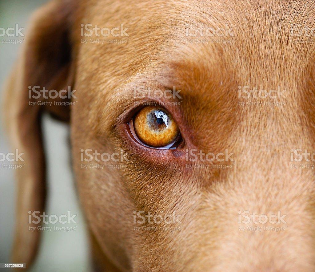 Brown Labrador eye closeup stock photo