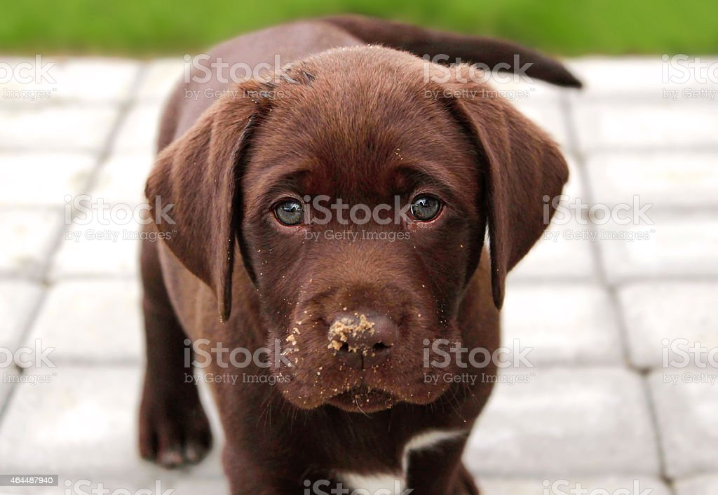 Brown Labrador Puppy In Garden Stock Photo Download Image Now Istock