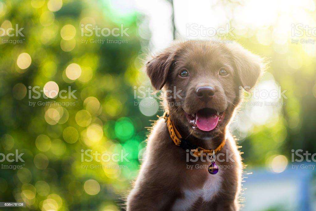 Brown labrador retriever puppy at sunset – Foto