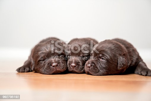 Close-up of little Chocolate Labradors looking exhausted on floor. Purebred brown puppies are sleeping together. Retrievers are against white background.