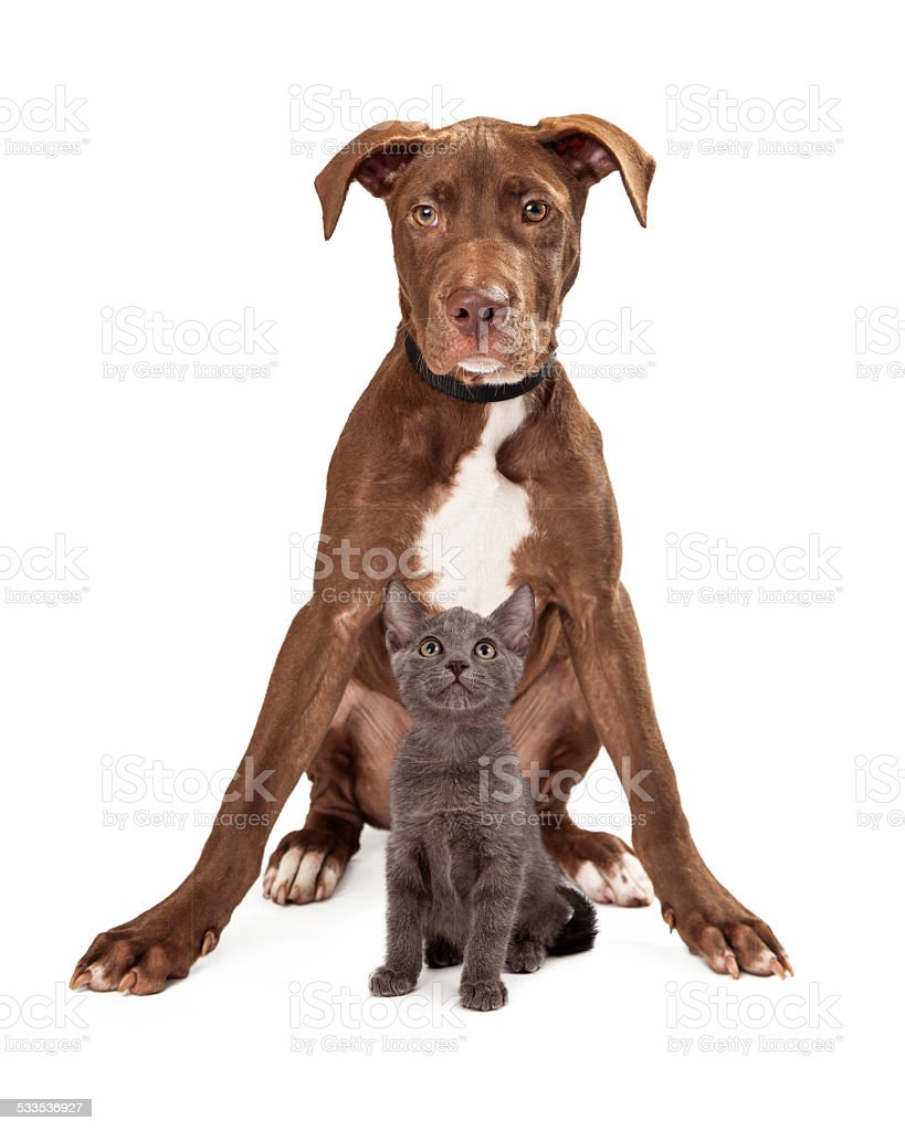 Brown large puppy with kitten stock photo