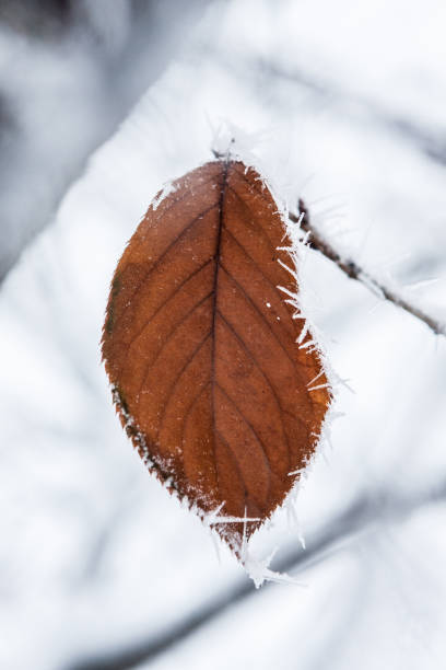 Brown Leaf With Frost stock photo