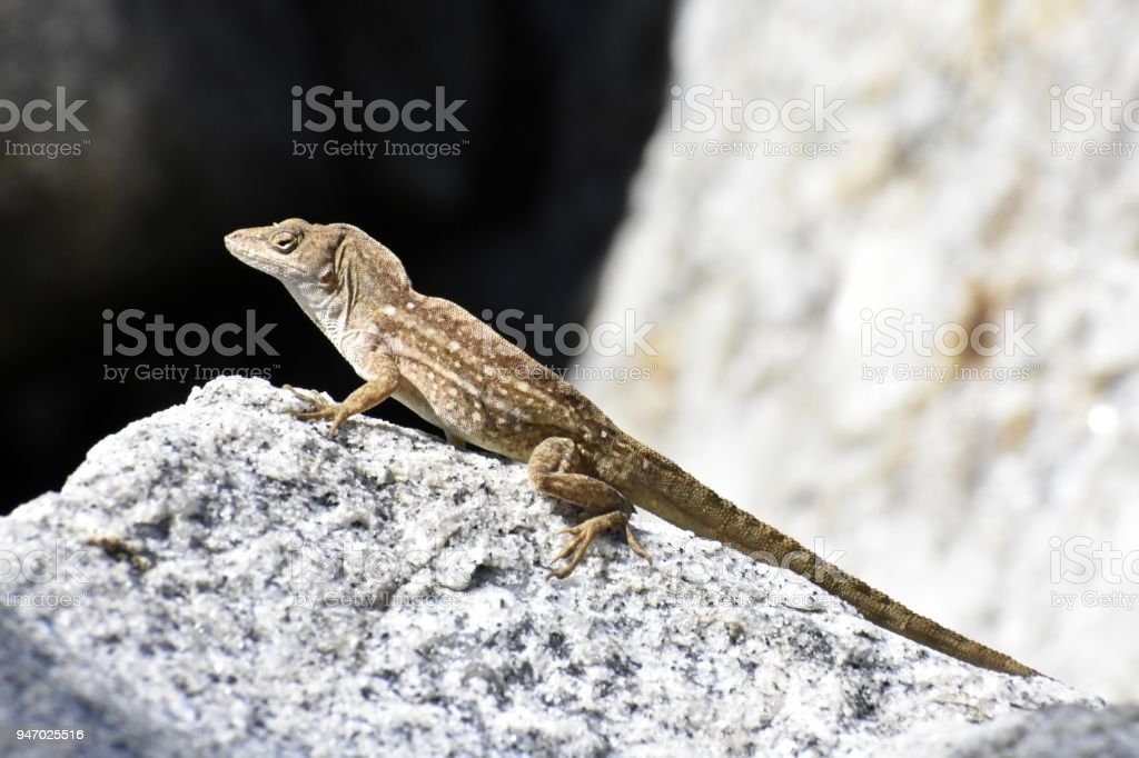 Brown Lizard, Side View stock photo
