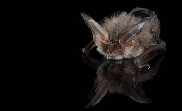 Brown long-eared bat on a black background stock photo