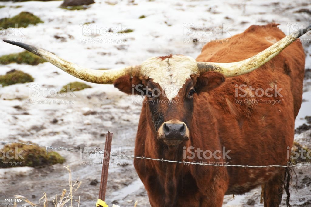 Brown Longhorn stock photo