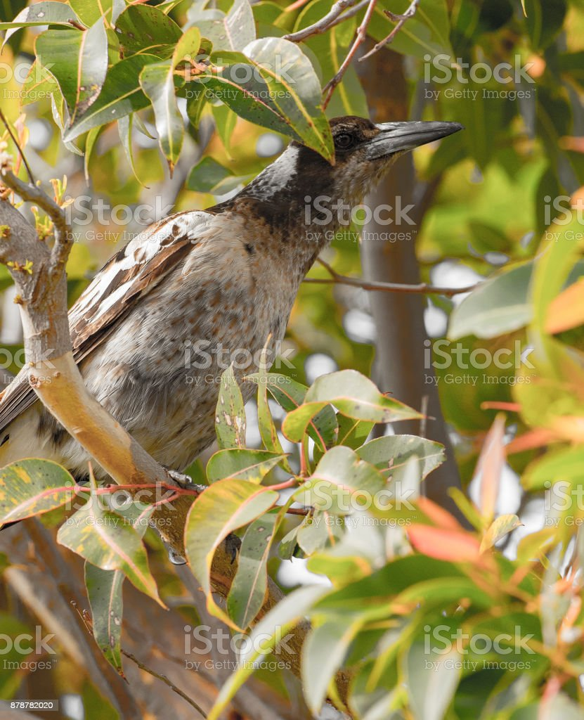 brown magpie in gum tree stock photo