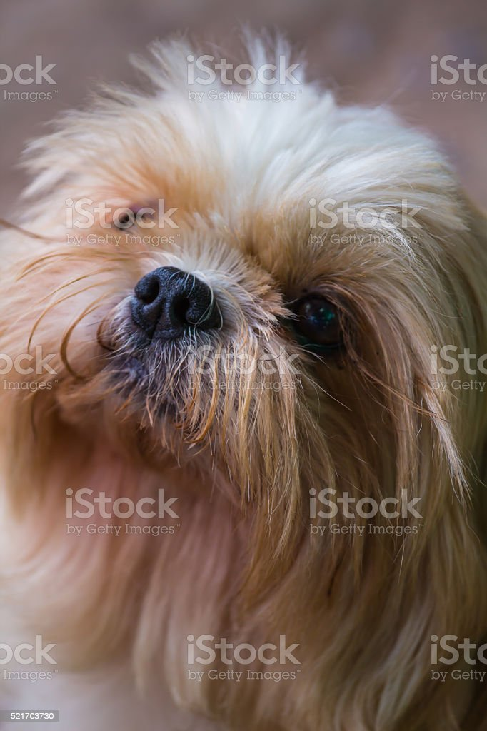 Brown Maltese Dog Stock Photo Download Image Now Istock