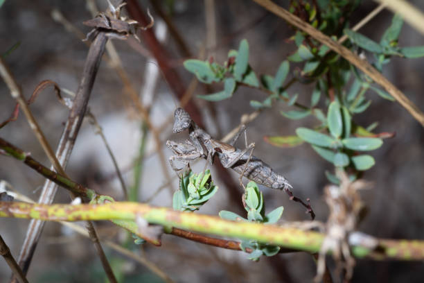 Braune Mantis erwartet – Foto