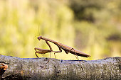 This wild Mantis, or Praying Mantis (Mantodea), is one of natures apex predators.  They are known to ambush their prey at great speed and obtained the name Praying Mantis due to usually having their front legs folded.