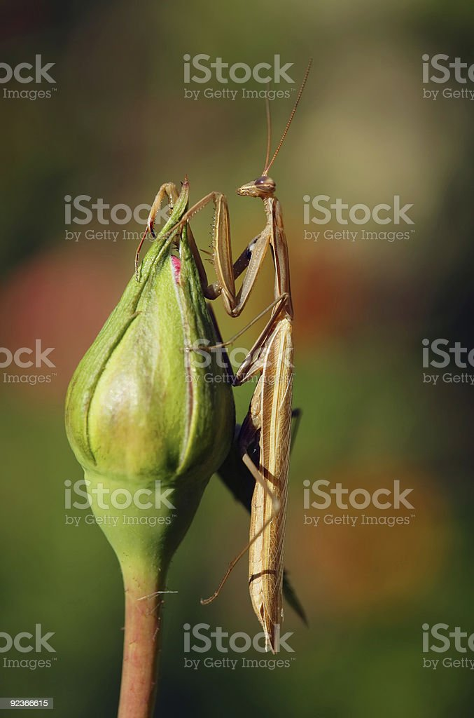 Brown mantis royalty-free stock photo