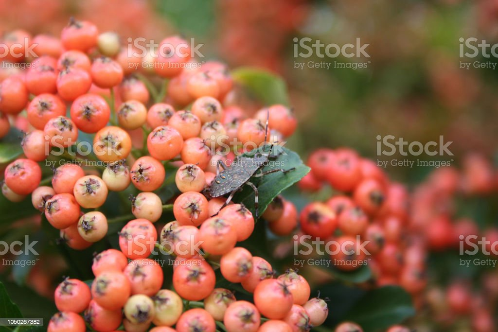 Brown Marmorated Shield Bug On Firethorn Bush With Orange Berries