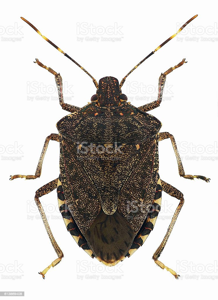 Brown Marmorated Stink Bug Halyomorpha Halys Stock Photo More