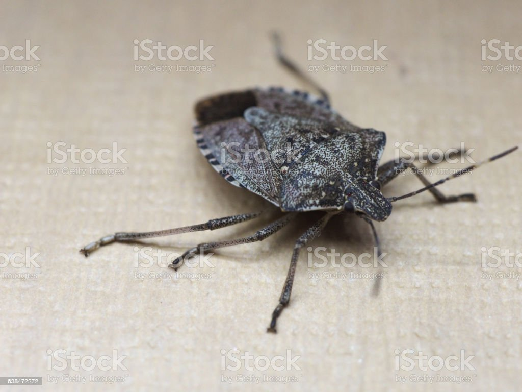 brown marmorated stink bug insect animal stock photo