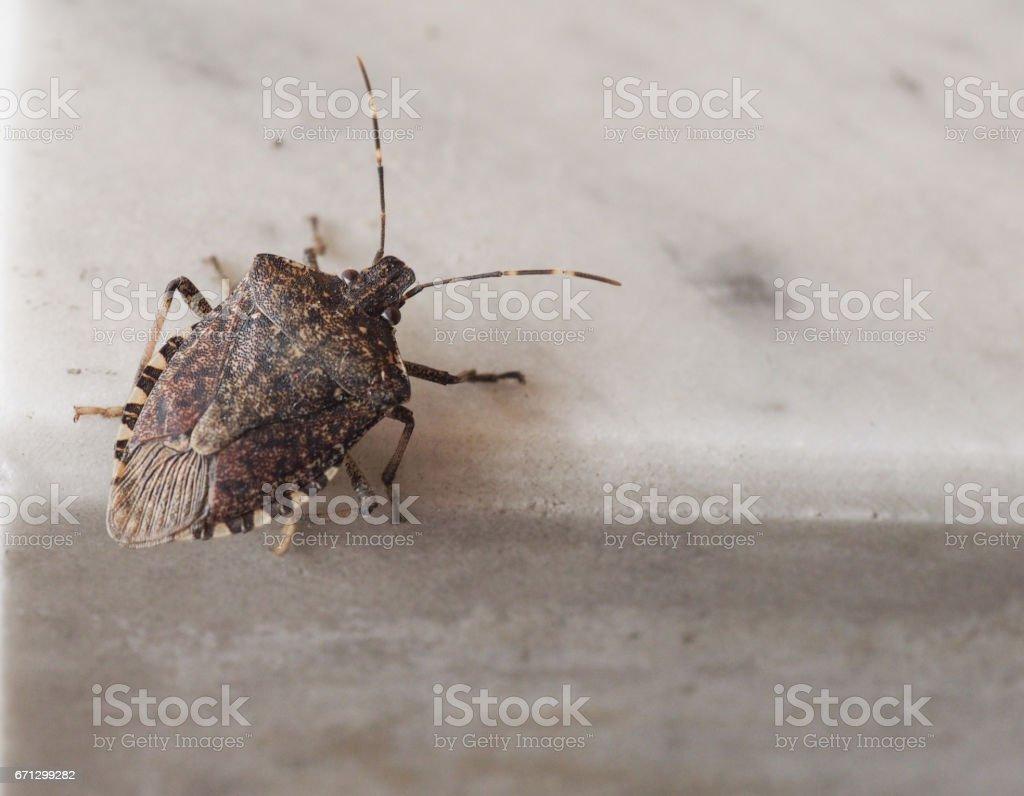 Braun Marmorated Gestank Bug Insekten Tier – Foto