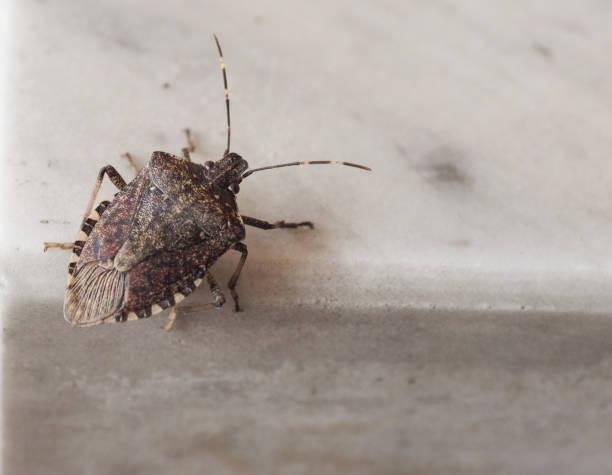 marmorated marrom cheiro animal de inseto bug - foto de acervo