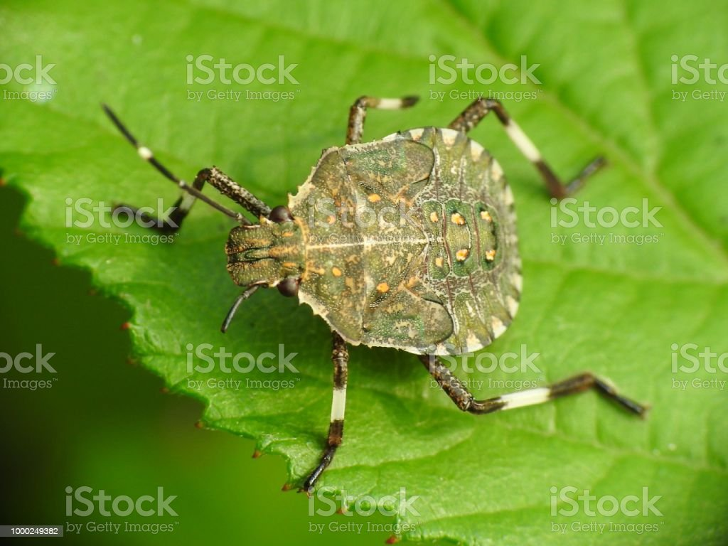 Brown Marmorated Stink Bug Stock Photo & More Pictures of Animal ...