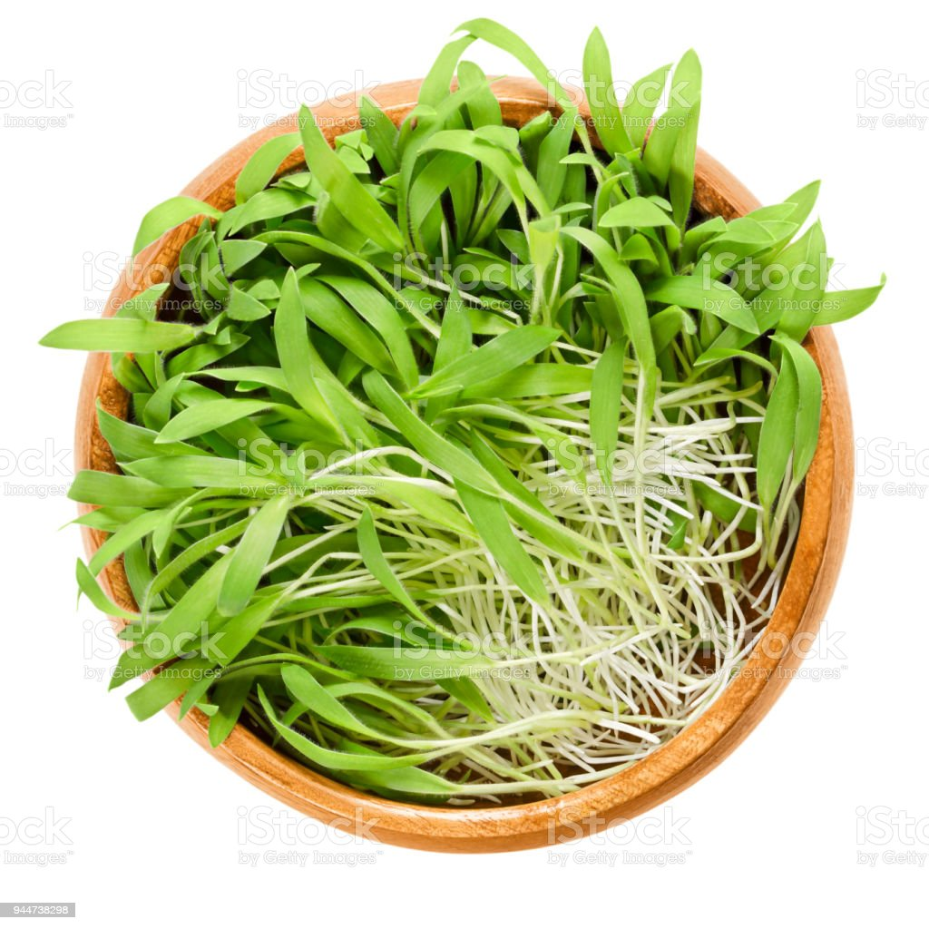 Brown millet microgreen in wooden bowl over white stock photo