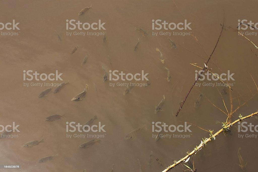 brown mirky water with small fish background stock photo
