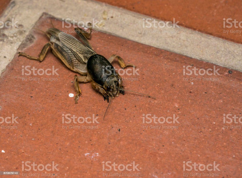 Brown mole cricket in a farm stock photo