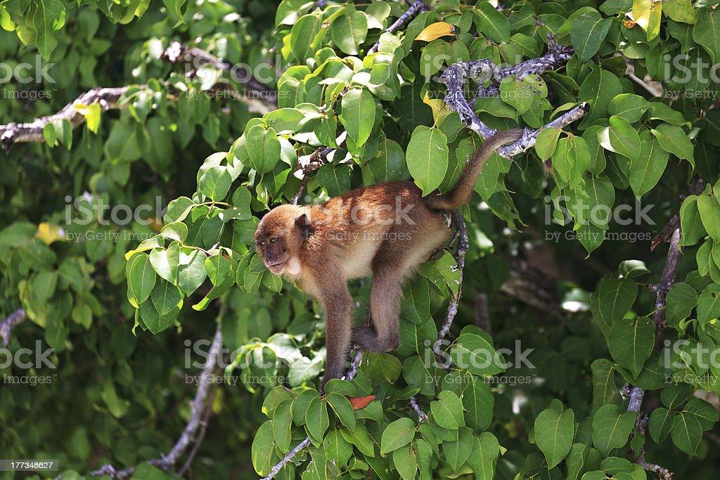 Brown monkey royalty-free stock photo