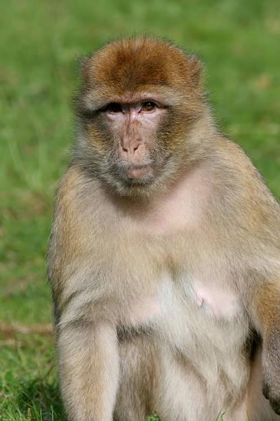 singe de brun - singe magot photos et images de collection