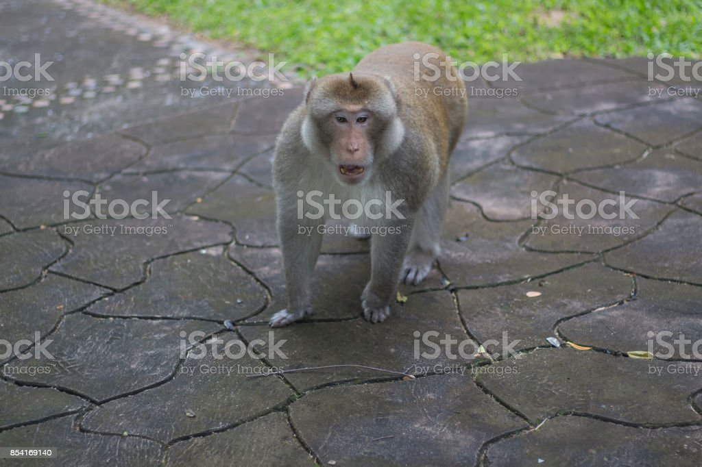 Brown monkey walks the park, Close-up monkey select focus, Asian monkeys stock photo