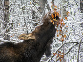 A close up image of a large Moose cow eating leaves on tree branches in winter in northern British Columbia, Canada.
