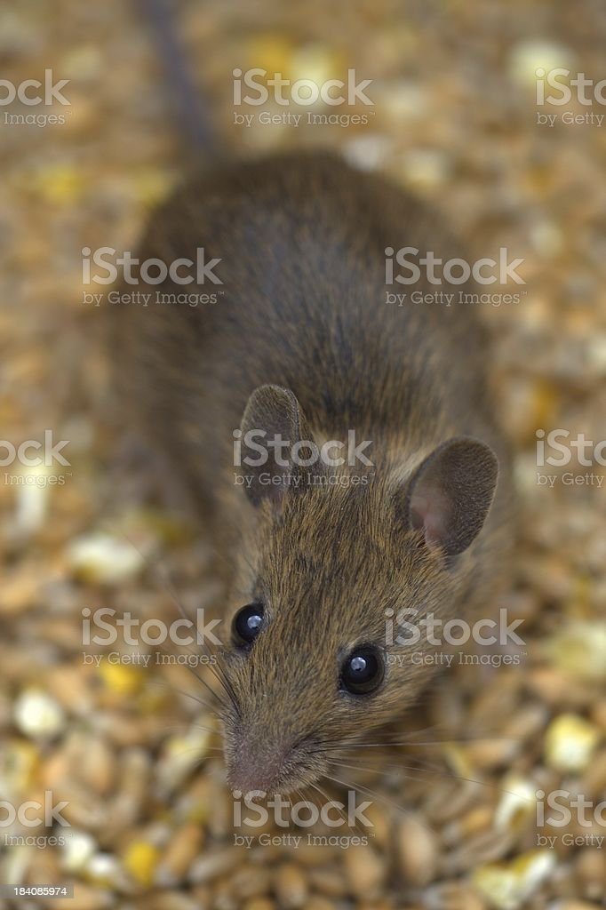 Brown mouse  in grain store 2 royalty-free stock photo