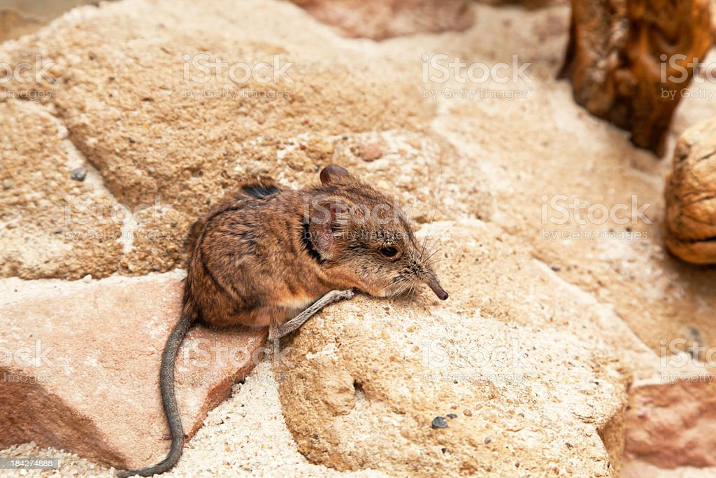Brown mouse stock photo
