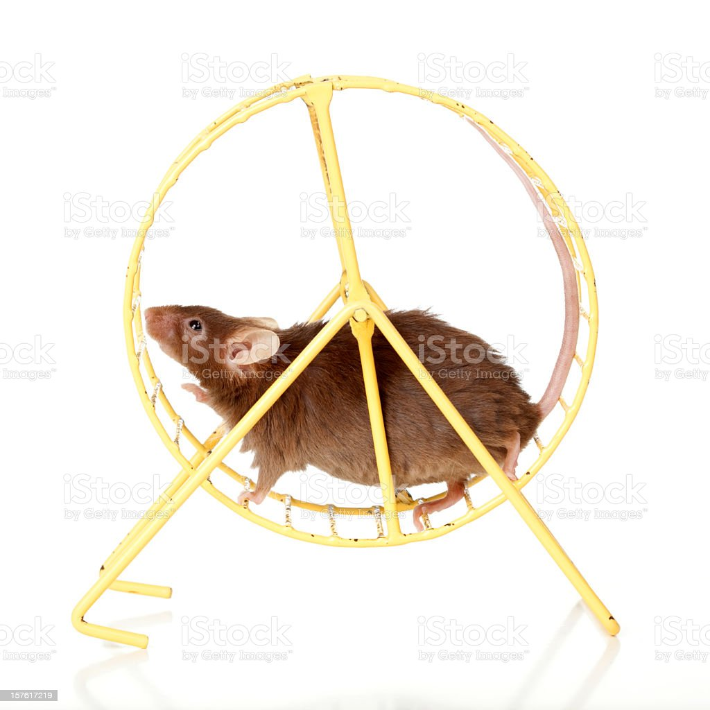 Brown mouse running in a wheel. stock photo