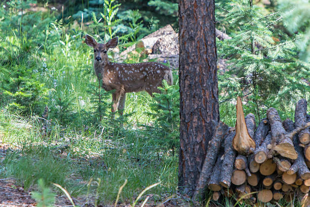 Brown Mule Deer Fawn with White Spots stock photo