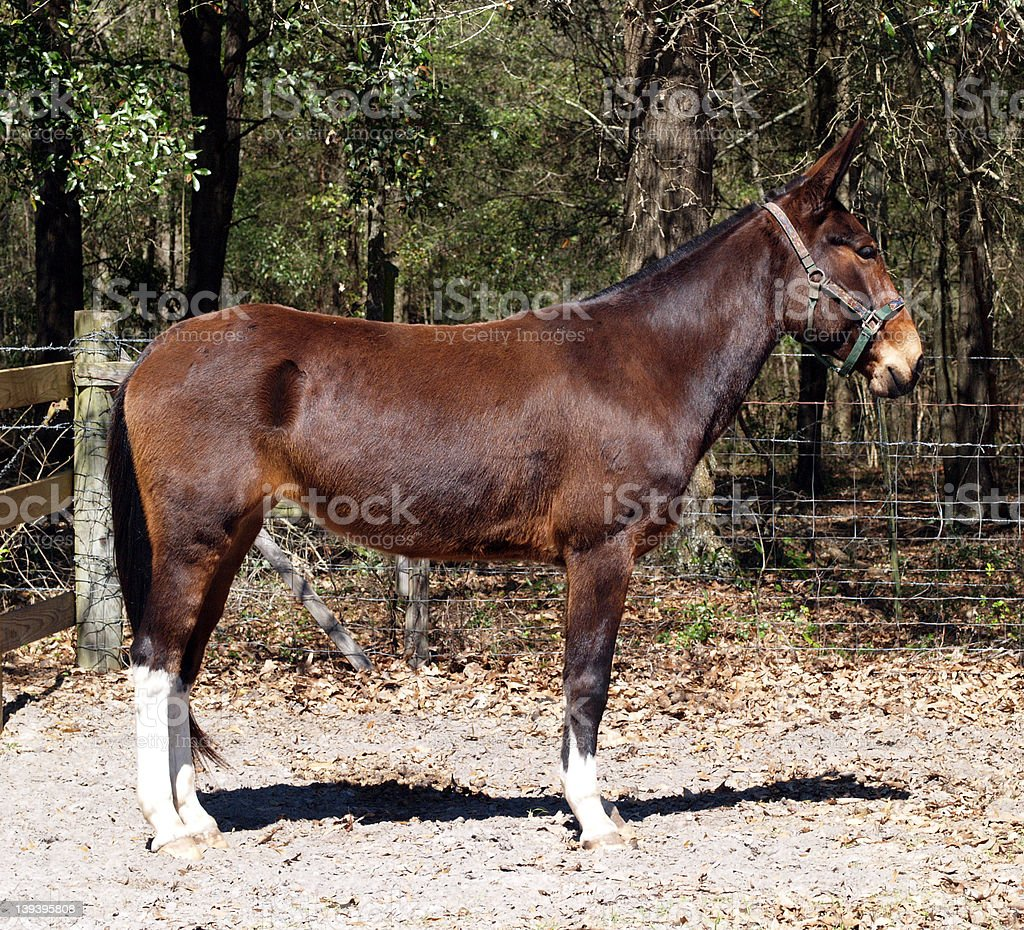 Brown mule royalty-free stock photo