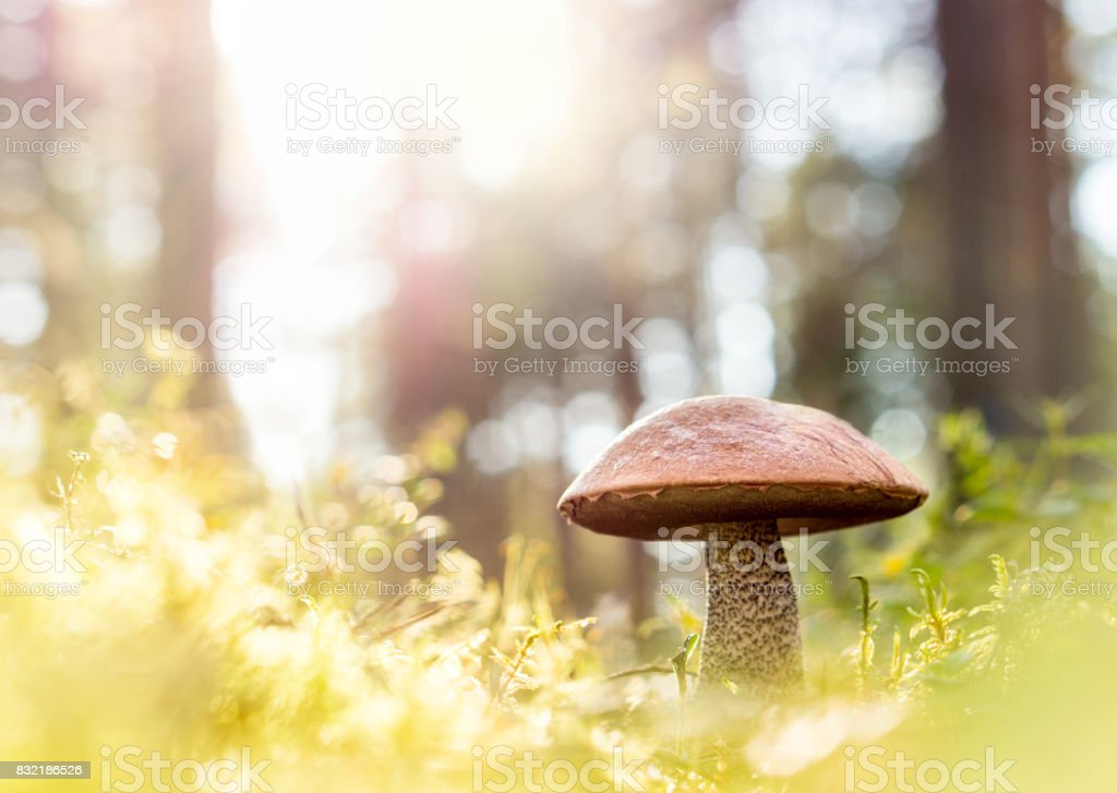 Brown mushroom in the woods. Fungus in the middle of trees and grass in forest. Sun shining. Rough-stemmed bolete, scaber stalk or birch bolete, Leccinum scabrum in Latin. Negative copy space for text stock photo