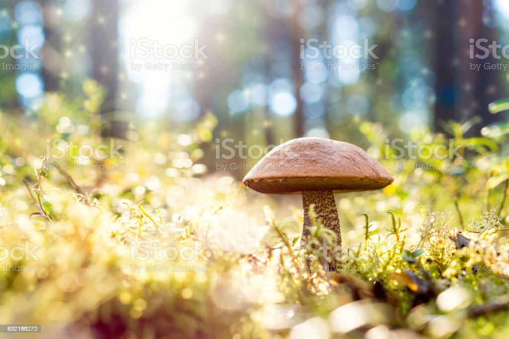 Brown mushroom in the woods. Magic forest look from dust and particles floating in the air. Sun shining. Rough-stemmed bolete, scaber stalk or birch bolete, Leccinum scabrum in Latin. stock photo