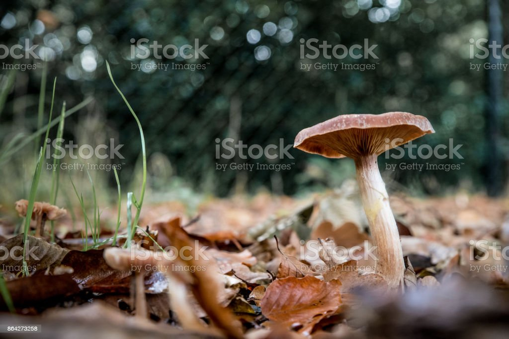 Brown mushroom on a soil with fallen leaves royalty-free stock photo