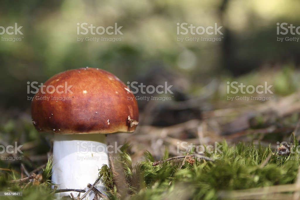 Brown mushroom on the green moss. royalty-free stock photo