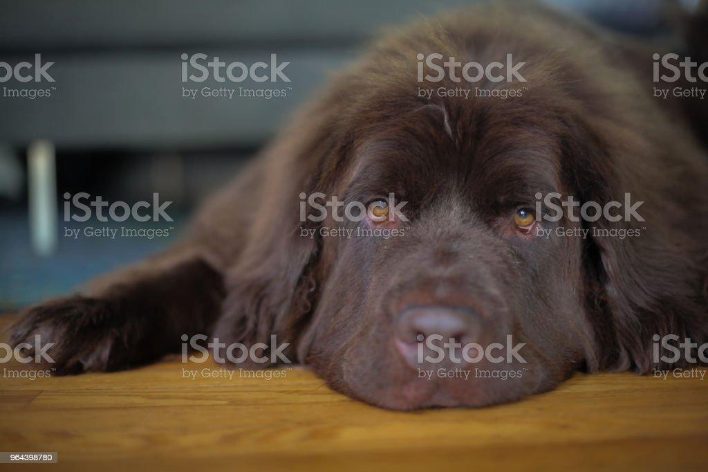 Cão de estimação de Newfoundland marrom deitado sobre um piso de madeira - Foto de stock de Animal royalty-free