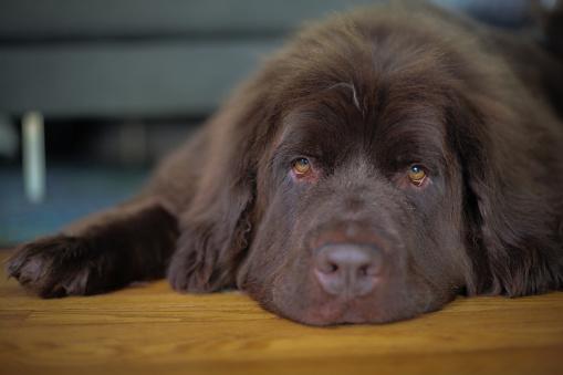Foto de Cão De Estimação De Newfoundland Marrom Deitado Sobre Um Piso De Madeira e mais fotos de stock de Animal
