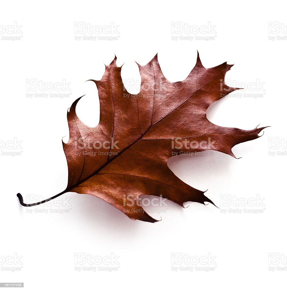 Brown oak leaf on white background royalty-free stock photo