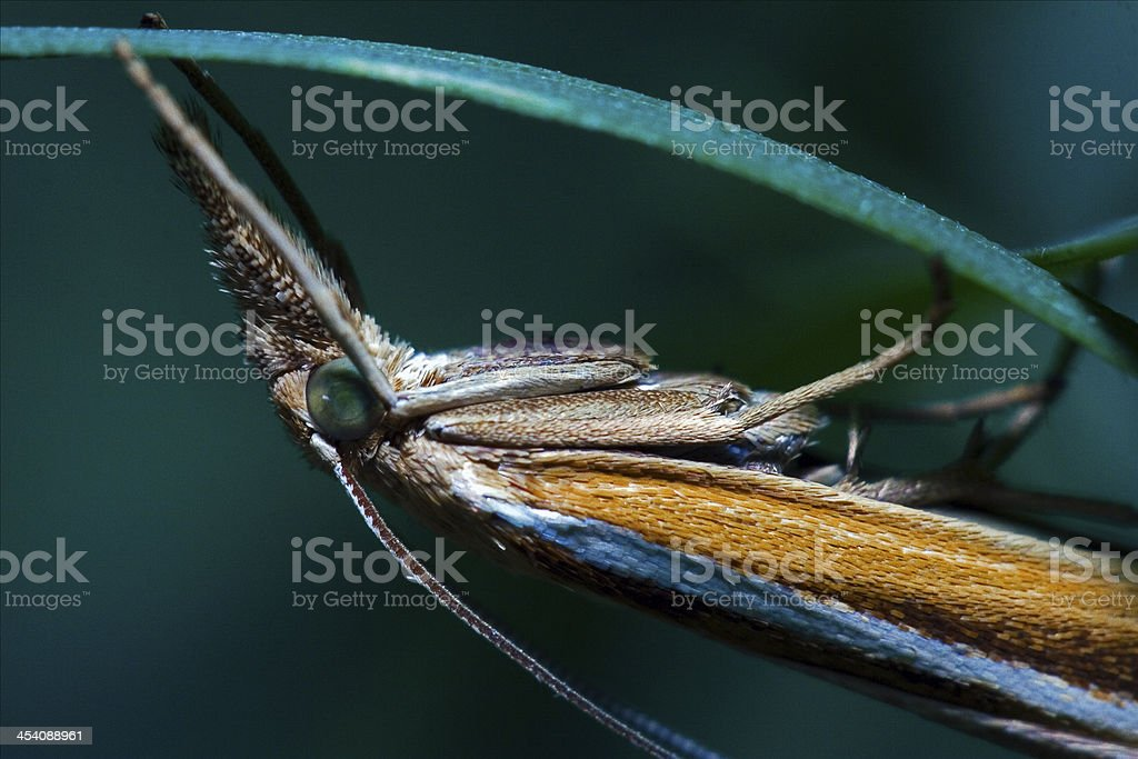 brown orange butterfly trichoptera on a green leaf stock photo