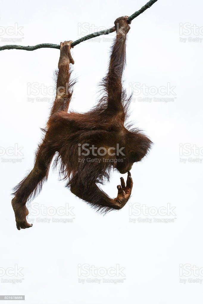 brown Orangutan on the tree stock photo