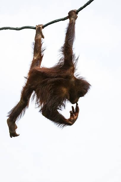 brown orangutan on the tree - schommelen bungelen stockfoto's en -beelden
