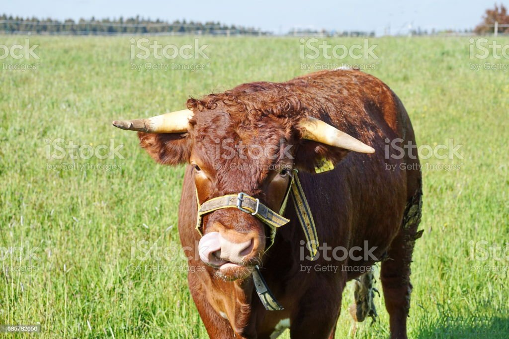 Brown Ox with white horn in the meadow, Bavaria Germany. royalty-free stock photo