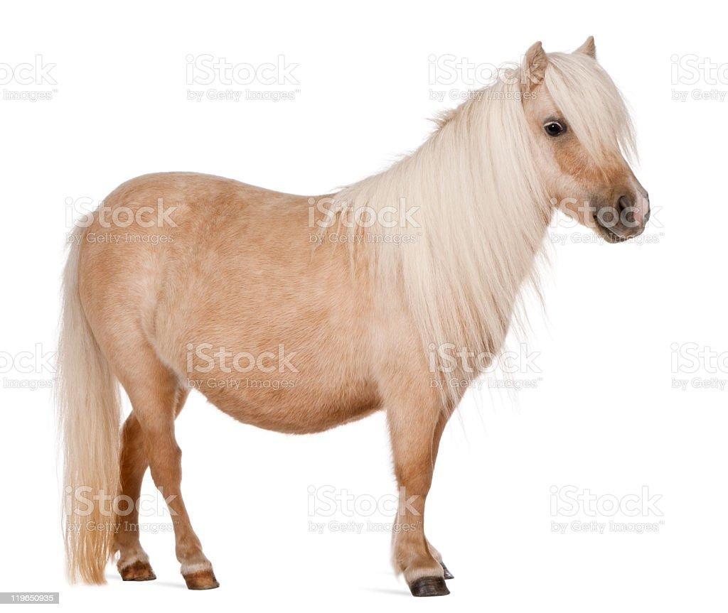 Brown Palomino Shetland pony on white background stock photo